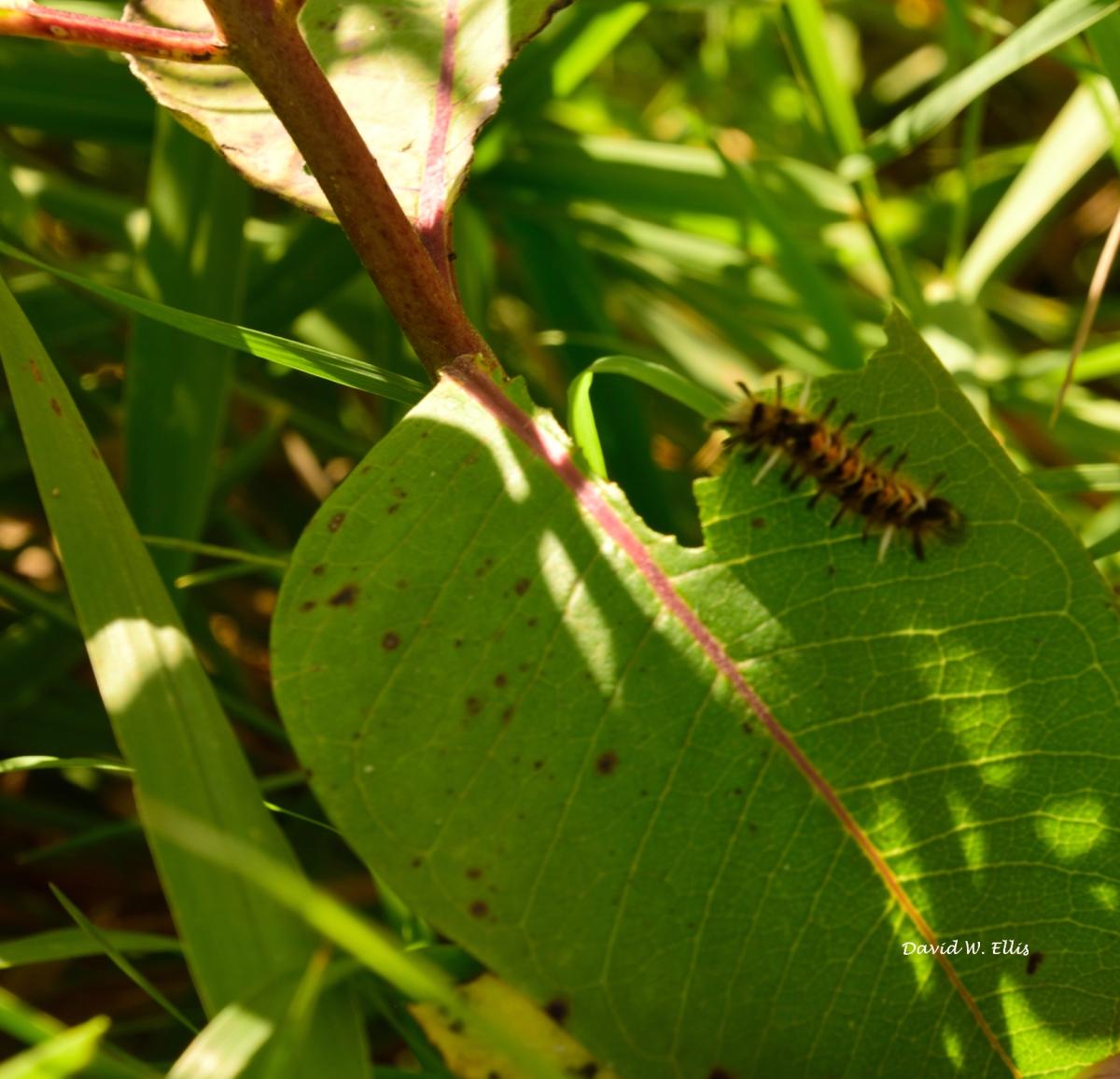 Toxic Caterpillar a SilentWitness