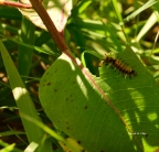 Toxic Caterpillar a Silent Witness