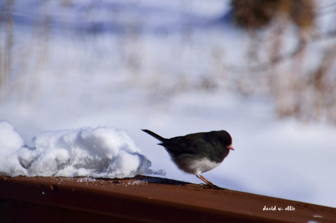 Darkeyed Junco WP